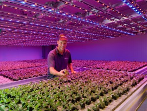 Deliscious lettuce grows with LED lighting Philips
