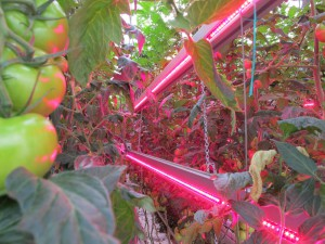 intercanopy_LED_lighting_for_tomato_production
